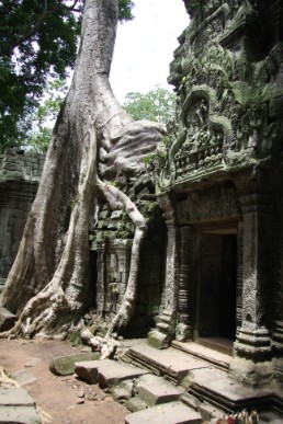 The giant tree at Ta prohm(Angkor}